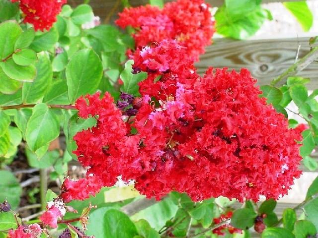 Hoa tường vi là hoa gì? Ý nghĩa của hoa tường vi, hoa tường vy tiếng anh là gì?