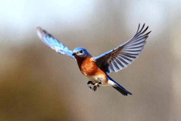 Chim bay vào nhà là điềm gì? chim nào điềm xấu, chim nào điềm tốt