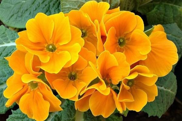 Hoa anh thảo tiếng anh là gì? 28 loại hoa anh thảo thường gặp nhất