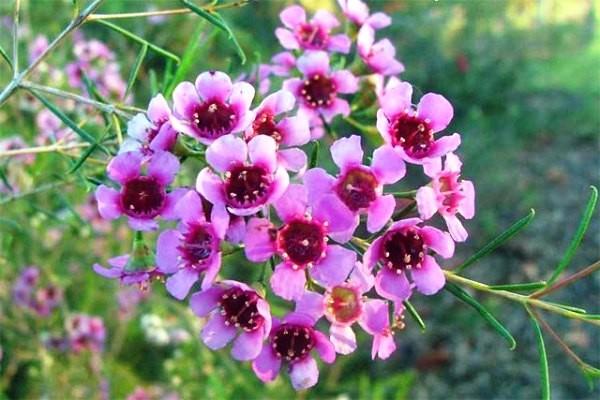 Hoa thanh liễu là hoa gì? Cách cắm và chăm hoa thanh liễu tươi lâu