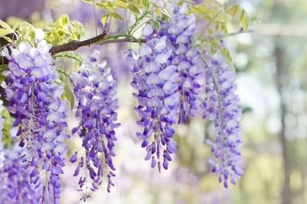 Hoa tử đằng là gì? ý nghĩa, cách trồng và cách chăm sóc hoa tử đằng