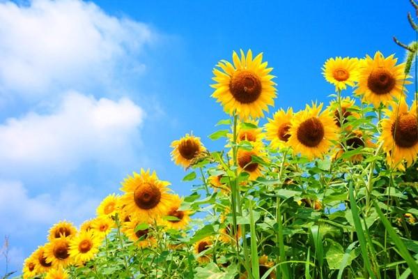 Hoa hướng dương có mấy loại - Ý nghĩa của hoa hướng dương trong cuộc sống?