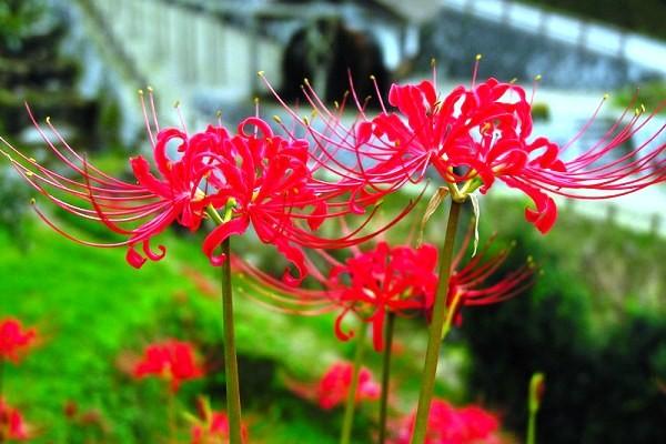 Hoa bỉ ngạn là hoa gì, có thật không? Sự tích và ý nghĩa của hoa bỉ ngạn