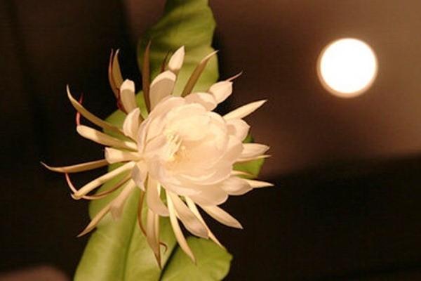 Chiêm ngưỡng những loài hoa nở về ban đêm đẹp nhất thế giới