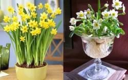 Cách trồng hoa thủy tiên đơn giản và dễ dàng nhất ra hoa 100%
