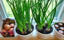 Các cách trồng hành lá siêu đơn giản tại nhà ai cũng làm được