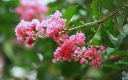 Hoa tường vi là hoa gì? Ý nghĩa của hoa tường vi, hoa tường vi tiếng anh là gì?