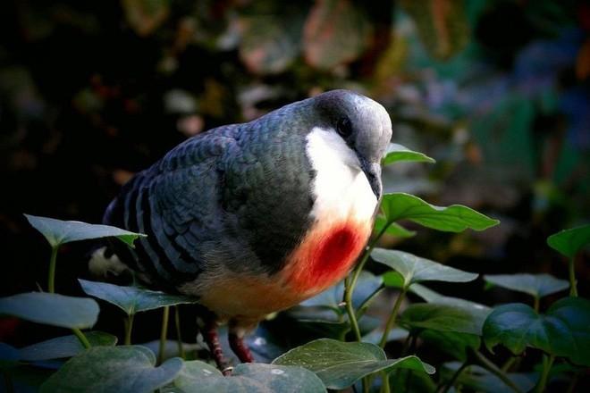 Sự thật về chim bồ câu luôn mang - Vết thương giữa ngực