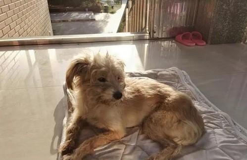 Chú chó bị chủ bỏ quên đi gần 60 km về nhà