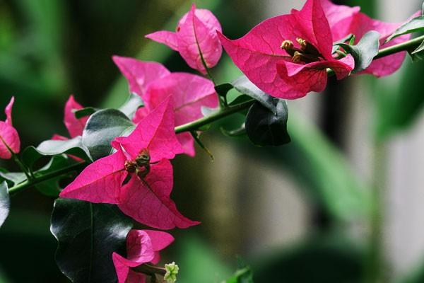 Hoa Giấy tiếng Anh là gì? bougainvillea spectabilis hay confetti là chính xác