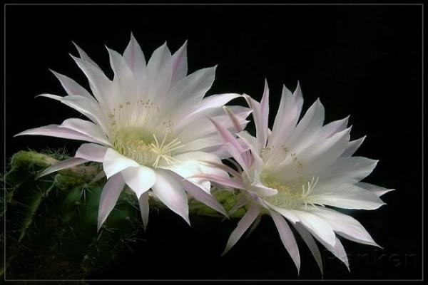 Các loài Hoa Quỳnh - Hoa Quỳnh tiếng Anh là gì? Epiphyllum hay Night Cactus