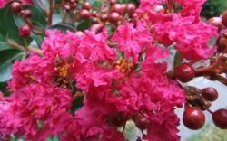 Phân biệt hoa Tường Vi, hoa Tử Vi, và Hoa Hồng Tường Vi