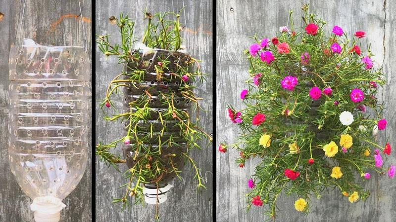10 ý tưởng trồng hoa mười giờ độc đáo - cách trồng hoa mười giờ trong chai nhựa