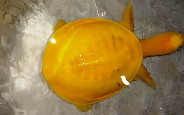 Phát hiện con rùa có toàn thân màu vàng tươi cực hiếm tại Ấn Độ
