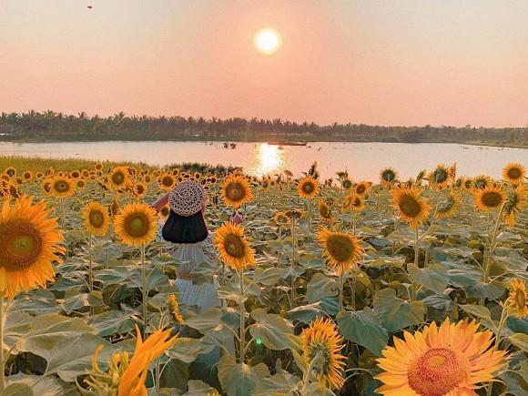 Đẹp lịm tim cánh đồng hoa hướng dương đang nở rộ ngay sát Hà Nội