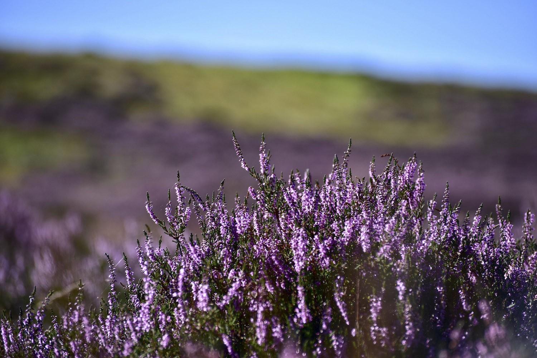 Choáng ngợp trước khung cảnh đẹp hút hồn của hoa thạch nam tại Scotland