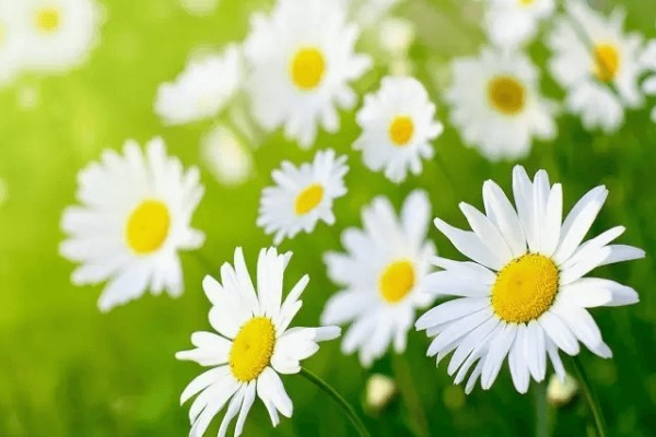 Ý nghĩa hoa cúc trắng – Loài hoa mỏng manh nhưng rất mạnh mẽ