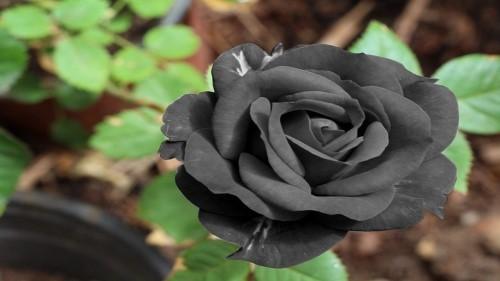 Ý nghĩa hoa hồng đen – Tuyệt tác của tạo hóa