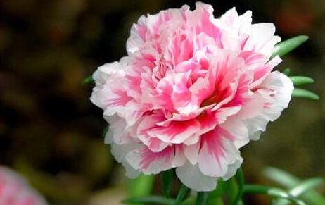 Sự thật đơn hàng hoa cẩm chướng 60 năm